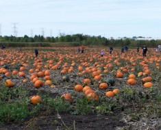 U- Pick Pumpkin Field