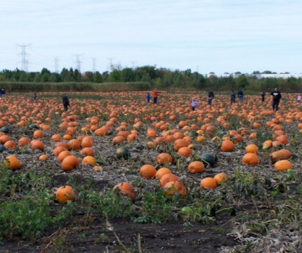 U- Pick Pumpkin Field